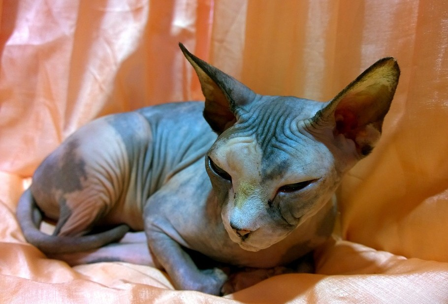 Hairless Pet