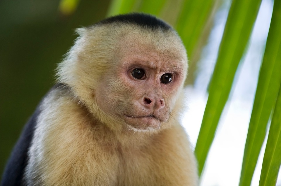 Most common types of pet monkeys: Capuchin
