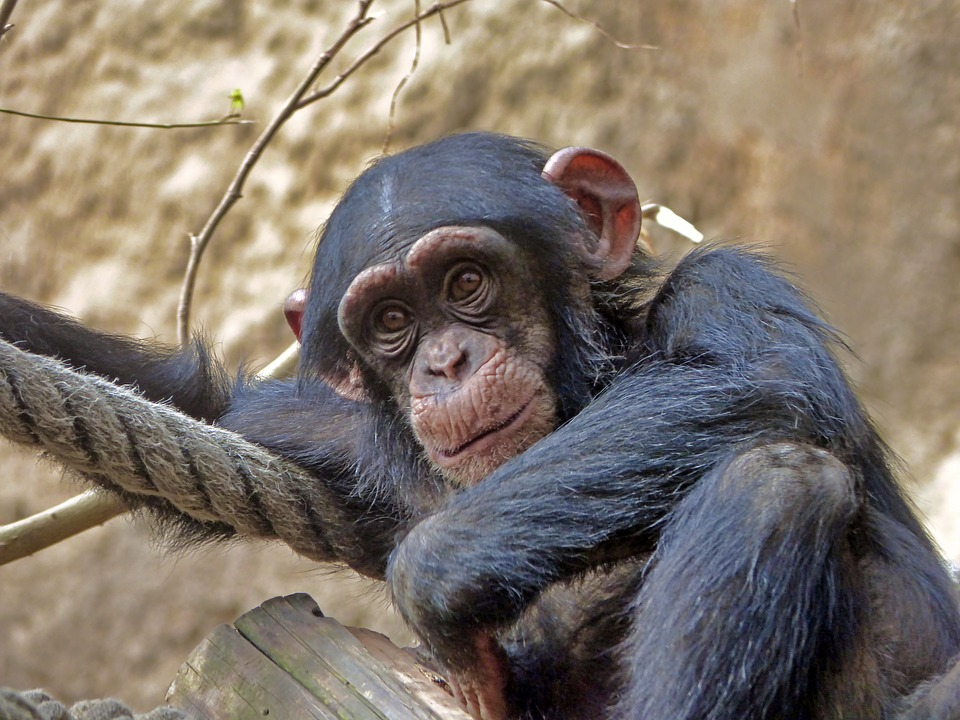 how to care for chimpanzees