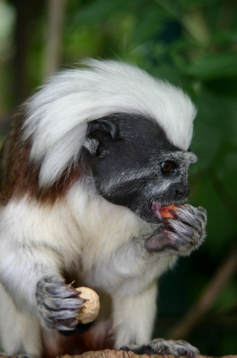Tamarin monkey eating: how to care for tamarins