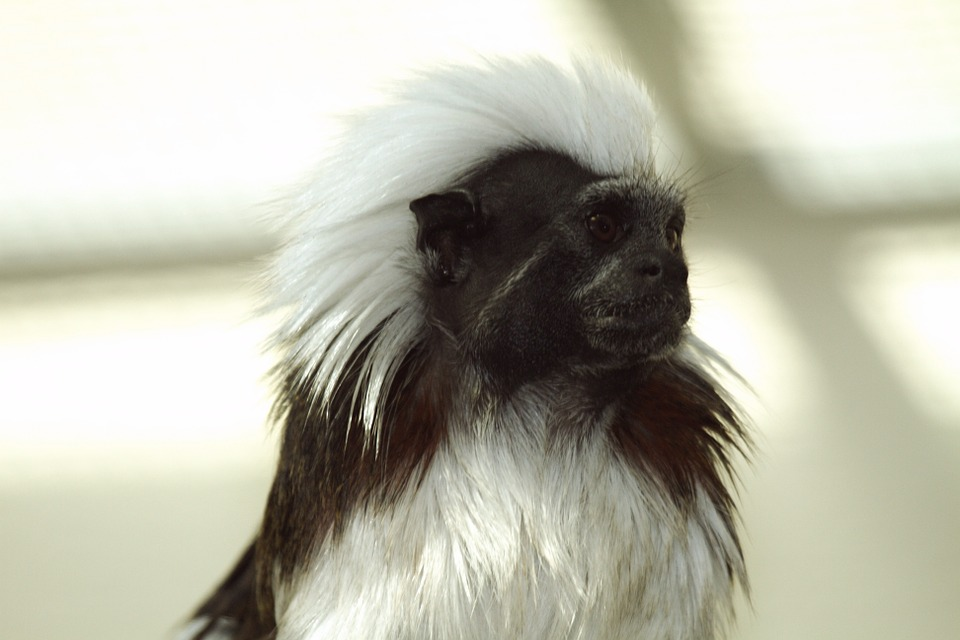 Tamarin Monkey: how to care for tamarins