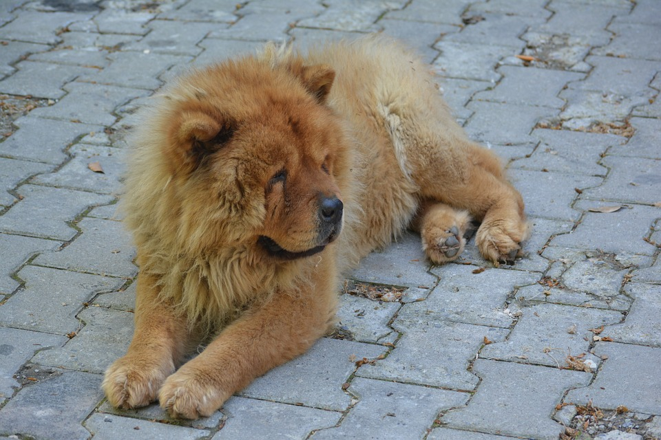 Health of Chow Chows