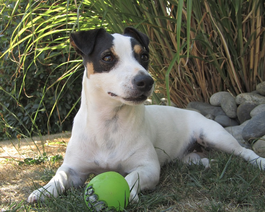 Jack Russell Terriers - Care