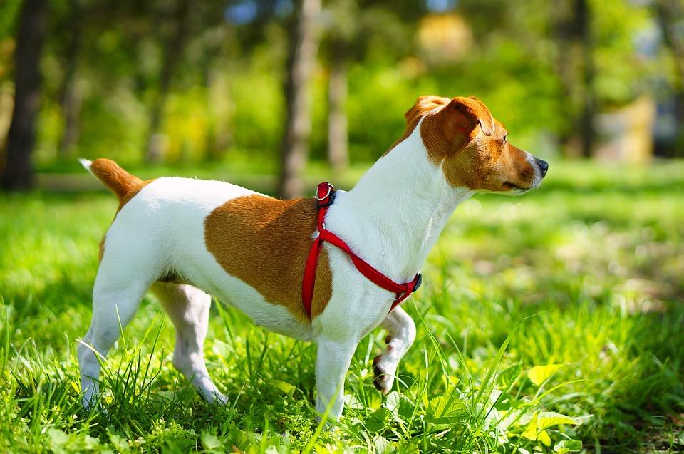 Jack Russell Terriers - Vital Stats